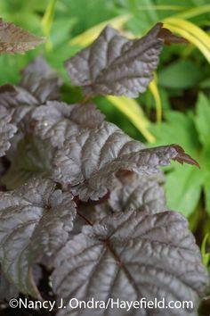 Astilbe Chocolate Shogun at Hayefield.com