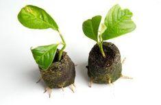 Inmultirea magnoliei prin butasi Flower Garden, Plants, Garden, Green Garden, Vegetable Garden, Ponds Backyard, Planting Herbs, Flowers, Clematis