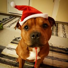 Santa school started early this year Wish u all a great weekend! Take care and don't forget to hug! Cute Baby Animals, Animals And Pets, Funny Animals, American Pitbull, Dogs And Puppies, Doggies, Staffordshire Bull Terrier, Pit Bull Love, Pet Life