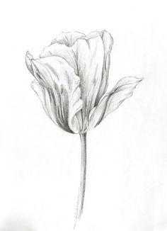 Abstract Pencil Drawings, Pencil Drawings Of Flowers, Colorful Drawings, Flower Sketch Pencil, Flower Sketches, Tulip Drawing, Plant Drawing, Botanical Drawings, Botanical Art
