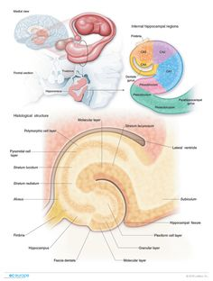 Histology of hippocampus