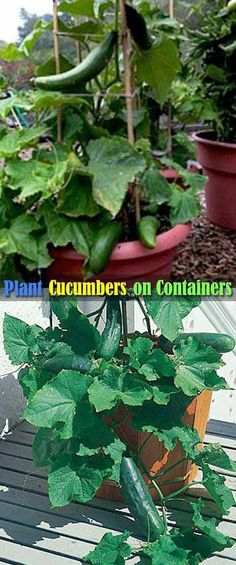 #4. Cucumbers are Easy to Grow in Containers, Just Keep Them Vertically Growing by Using a Stake. #vegetablesgardening