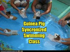 Guinea Pig Syncronized Swimming Class