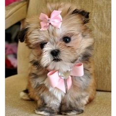 Imperial Shihtzu Puppies for sale, Teacup Shihtzu Puppies for sale