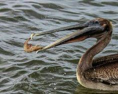 brown pelican with shrimp dinner....