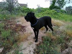 717 Best Cane Corso Images In 2019 Cute Dogs Beautiful Dogs Cane