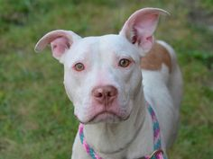 TO BE DESTROYED - 09/22/14 Brooklyn Center -P  My name is SNOWY. My Animal ID # is A1013879. I am a male white and brown pit bull mix. The shelter thinks I am about 2 YEARS   I came in the shelter as a STRAY on 09/12/2014 from NY 11236, owner surrender reason stated was STRAY.
