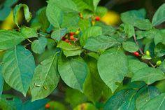 Foraging for Spicebush (for seasonings)