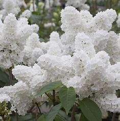 Syringa reticulata subsp. reticulata; Japanese tree lilac . http://www.mortonarb.org/trees-plants/tree-plant-descriptions/japanese-tree-lilac
