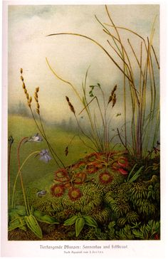 1000 Piece Jigsaw Puzzle (other products available) - Sundew and butterwort in a German field Date: 1913 - Image supplied by Mary Evans Prints Online - 1000 Piece Jigsaw Puzzle made to order Fine Art Prints, Framed Prints, Poster Prints, Canvas Prints, Botanical Illustration, Botanical Prints, Parts Of A Book, Carnivorous Plants, Landscape Prints