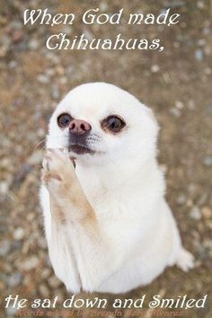 When God made Chihuahuas