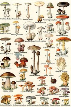 Vintage illustration of edible and poisonous mushrooms; lithograph, giftige Vintage illustration of edible and poisonous mushrooms; Mushroom Drawing, Mushroom Art, Mushroom Fungi, Mushroom Hunting, Botanical Drawings, Botanical Prints, Poisonous Mushrooms, Mushroom Tattoos, Edible Garden