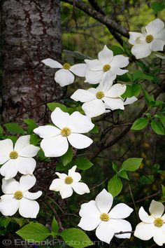 Cornus nuttallii - Pacific Dogwood. It's hard to find the pure species at nurseries, but we could get saplings at the Whatcom native plant sale. It would be nice to have a couple scattered around outside the fence, if not a full row.