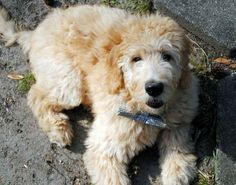 #84: Nelson the Goldendoodle
