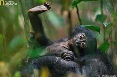 VOCÊ SABIA? Os bonobos jovens nascem com o rosto escuro, ao contrário dos chimpanzés, cujos rostos começam rosados e vão escurecendo aos poucos. Conheça os #primatas da margem esquerda do rio Congo http://abr.ai/1c42Nlj