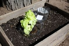 Good To Grow, Liza's photos, how to create a salad garden
