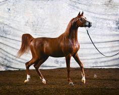Ensync FMA :: Argent Farms LLC :: Distinctive Arabian Horses