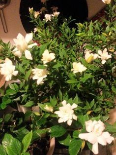 One of my favorite Gardenias.....