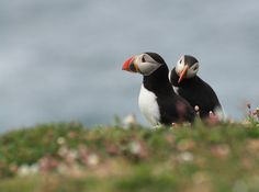 Puffin Pair (Fratercula arctica) | par Dr Steven Murray
