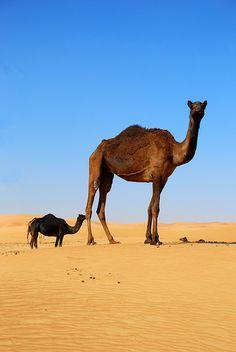 Camels (by faceymcface1, via Flickr)
