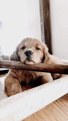 This adorable puppy golden retriever will brighten your day. Dogs are amazing companions. Cute Baby Animals, Animals And Pets, Funny Animals, Animals Images, Nature Animals, Wild Animals, Animal Pictures, Chien Golden Retriever, Golden Retrievers