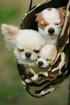 How sweet! Such cuddly chihuahuas, the best doggies for me! <3