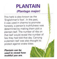 Magical herb Plantain