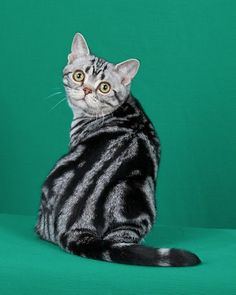 Cat Breeds: CFA Pedigreed Breed: American Shorthair - Beautiful and different ideas Bengal Kittens For Adoption, Cats And Kittens, Best Cat Breeds, American Shorthair Cat, Ginger Cats, Cat Grooming, Domestic Cat, Cat Love, Cool Cats