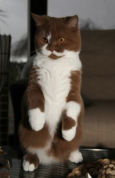 Brown and white cat on hind legs. Want to pet this fur! ***Och büdde***Von Petra Arians