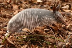 many species of armadillos native to north and south america florida ...