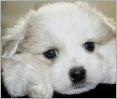 Little cherub-faced, Impromptu of Simply Grand Coton de Tulear puppies.
