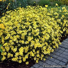 Beautiful lemon-yellow flowers seem to hover above delicate foliage on compact plants. Named Perennial Plant of the Year in 1995. (Coreopsis verticillata)