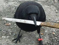 "wolvenartist: "" mercynary: "" is that corvo "" Well actually the bird is Canuck the crow, who's known for strealing that knife at a crime scene, only to return it to police a couple hours later. Crow Pictures, Bizarre Pictures, Animal Pictures, Funny Pictures, Animal Memes, Funny Animals, Cute Animals, Jackdaw, Crows Ravens"