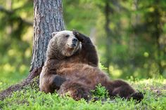 Brown bear (Ursus arctos) adult female sat down against tree scratching head, Finland, June Bear Pictures, Funny Animal Pictures, Animals And Pets, Baby Animals, Baby Pandas, Wild Animals, Bear Drawing, Animal Antics, Love Bear