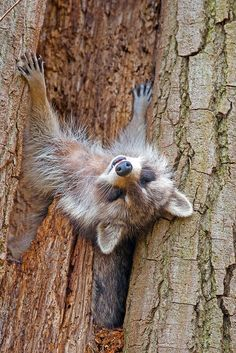 ~~Mother Raccoon Snoozing by Brian E Kushner~~