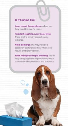 Get to know the symptoms of canine influence aka doggy flu