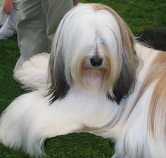 Gorgeous Tibetan Terrier. So silky! She reminds me of Cousin It ... in only the best way, of course!