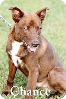 Transfer, PA - Labrador Retriever Mix. Meet Chance, a dog for adoption. http://www.adoptapet.com/pet/15420968-transfer-pennsylvania-labrador-retriever-mix