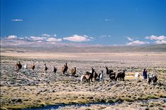 Peasant with its Llamas and Alpacas in Reserva Nacional Salinas - Aguada Blancas, near Arequipa, Peru by Álvaro Telhado Andion