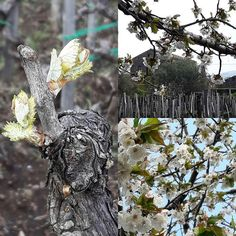 Springtime in our vineyard.#moscamentoestate #vine #vineyard #wine #winetaste #winelover #sommelier #restaurant #tasting #nerellomascalese #carricante #etna #etnadocwines #lavanda #cherryblossom #alberello #century #palmento