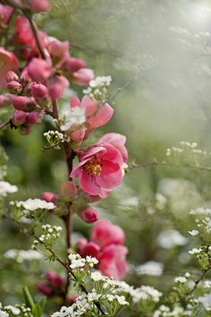 ~~Flowering Quince by Jacky Parker - Chaenomeles Speciosa 'Umbilicata'~~