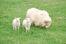 Icelandic sheep Compass Rose Farms