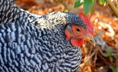 [VIDEO] Introducing Our Backyard Chickens! - Redeem Your Ground | RYGblog