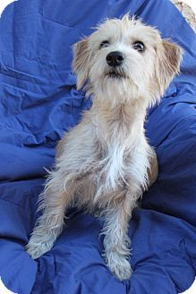 Austin, TX Norwich Terrier/Cairn Terrier Mix. Meet