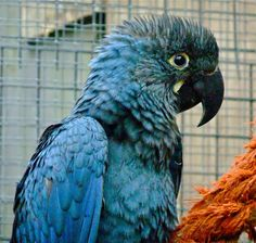 Lear's Macaw fully fledged.