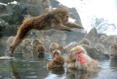 Japanische Schneeaffen nehmen in winterlicher Kälte ein heißes Bad im Jigokudani Park in Yamanouchi. In diesem sogenannten Höllerntal mit seinen heißen Quellen leben 160 dieser Affen.