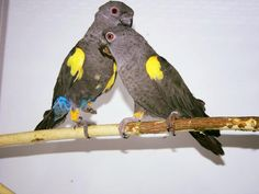 Pappagallo di Ruppel - Rueppell's Parrot -  Poicephalus ruppellii