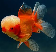 Red black oranda goldfish pinterest for Koi fry pool