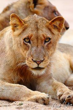 Lions by Chad Cocking Majestic Animals, Animals Beautiful, Wild Animals, Cute Animals, Female Lion, Dawn And Dusk, She Is Fierce, Wild Dogs, Mundo Animal