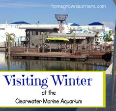 a field trip I'd love to do someday: visiting Winter at the Clearwater Marine Aquarium
